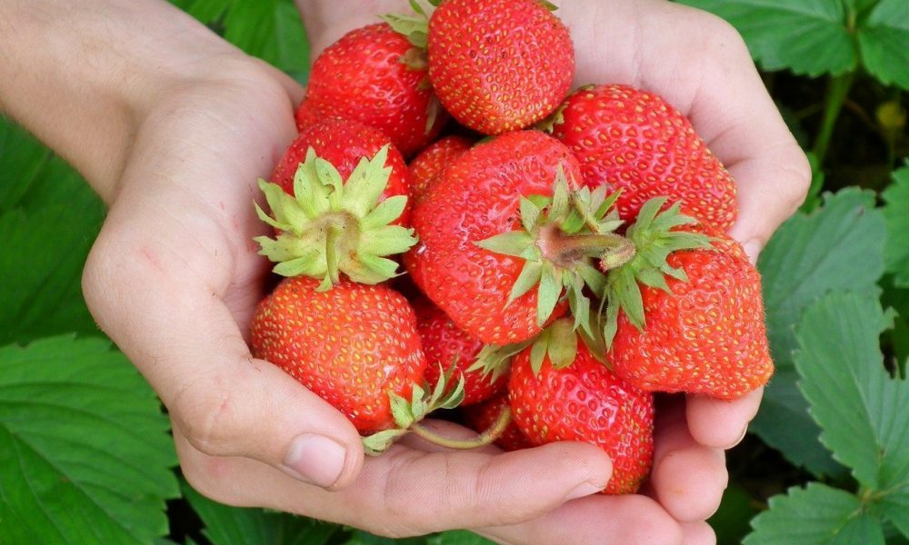 berry, strawberry, hands